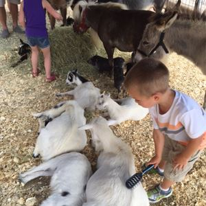 Goats in Petting Zoo