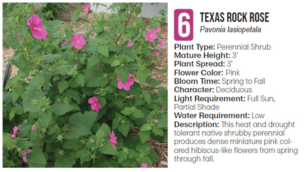 6 Texas Rock Rose